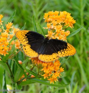 Native plants attract beautiful visitors all summer long.